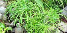A vízipálma (Cyperus alternifolius) jellemzői, gondozása, szaporítása és betegségei