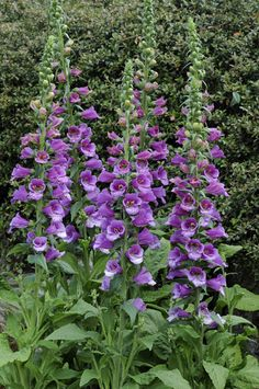 Digitalis purpurea 'Dalmatian Purple' will provide plenty of pollen for honey bees and other insect pollinators.