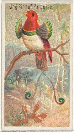 ephemera birds | King Bird of Paradise, from the Birds of the Tropics series (N5) for ...