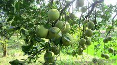 Kỹ Thuật trồng bưởi da xanh
