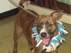 Bella - URGENT - Richland County Dog Warden in Mansfield, Ohio - ADOPT OR FOSTER - Young Female Pit Bull Terrier - at the shelter since April 12, 2017 - I'm a stray. I wore a tag with my name and phone number, but no one came when called. Why give me an ID tag if you didn't want me?! Now I wait each day for a new family to take me home. I'm a big girl with lots of energy. Fortunately, I'm sweet & friendly too. I tested well with other dogs. Hurry in to see if I'm the one for you.
