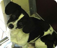 Middletown, NY - Beagle/Terrier (Unknown Type, Small) Mix. Meet Radar a Dog for Adoption.