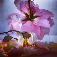 My night in shining armor - Nick Knight's 'Roses from my garden, 24th June 2014'.