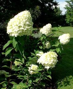 Hydrangea paniculata Limelight - 1,8 X 1,8 m  Floraison : (fructification)Août à Octobre  Énormes panicules très fournies, jusqu'à 40 cm de long, verdâtres, puis blanches, enfin rose. Majestueux.   Exposition à mi-ombre. Sol ordinaire, humifère, frais. Rustique, au moins jusqu'à -15°C.  Feuillage caduc. Port Buissonnant. Intérêt estival, automnal.