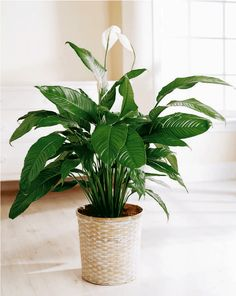 The best indoor plants Peace Lily idea