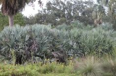Saw Palmetto Plant Care: How To Grow Silver Saw Palmetto Plants - Silver saw palmetto palms are native to Florida and southeastern U.S. These palms are unusually cold hardy and can be grown is USDA regions 7-11. Find information on growing these plants in the following article.
