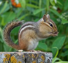 Hands up: An Eastern Chipmunk seen in the wild