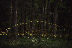Tsuneaki Hiramatsu, Fireflies