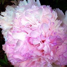 #peony #flowers #flower