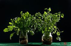 Rucula - Salsa - Verde - Foto: Marion Rupp