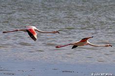 Flamingos in flight over Langebaan lagoon - West Coast National Park -Langebaan. #langebaanlagoon #westcoastnationalpark #langebaan