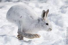 Snowshoe Hare Feet