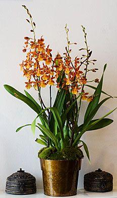 Oncidium Sweet Baby Caramel ( My newest Orchid)