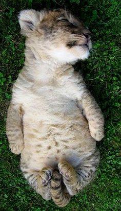 Sleeping baby tiger...