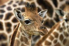 Rare giraffe born at West Midland Safari Park | Discover Animals