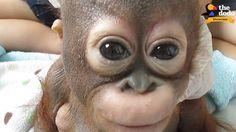 Today Dodo Impact are featuring Budi's rescue story!   You can support Budi's ongoing care and rehabilitation by adopting him online: https://www.internationalanimalrescue.org/adopt-orangutan/adopt/budi?utm_source=Facebook&utm_medium=social&utm_campaign=dodo&utm_content=budi_adopt #thepetscastle
