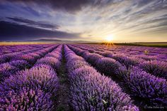 The Hypnotizing Beauty Of Harvesting Lavender (8 pics) | Bored Panda