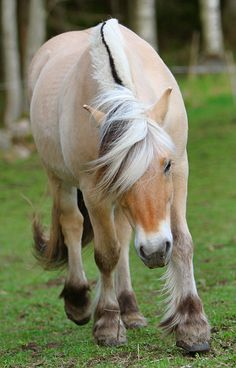 My next horse will be a Norwegian Fjord horse. My heritage. The Norweigan horse dates back to prehistoric times.