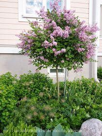 Garden Shrubs, Garden Plants, Beautiful Gardens, Beautiful Flowers, Garden Games, Garden Cottage, Ornamental Grasses, Dream Garden, Garden Planning
