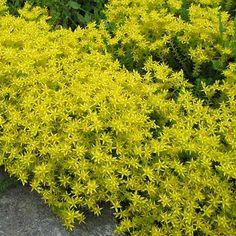 image de Sedum acre Acre, Quebec, Herbs, Landscape, Dimensions, Photos, Ideas, Gardens, Perennial Plant