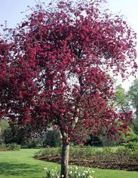 Purppuraomenapuu - *Malus Purpurea