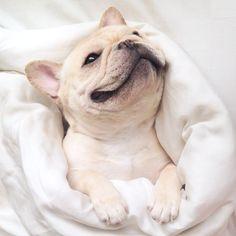 'Happy, just happy', French Bulldog