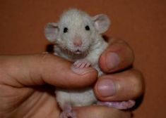 Szczury, szczurki, szczur dumbo, dumbo rex! Piękne, zdrowe:) Rats, Animals, Animales, Animaux, Rat, Animal, Animais, Dieren