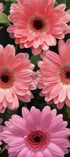 Gerbera Daisy - cheerfulness, often paired with ferns which symbolize sincerity Amazing Flowers, Fresh Flowers, Spring Flowers, Beautiful Flowers, Daisy Flowers, Sunflowers, Daisy Love, Rosa Rose, Gerber Daisies