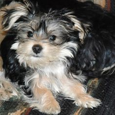 My old dog Blueberry the Morkie, when she was about five months old.