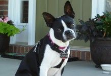 How Much Exercise does a Boston Terrier Dog Require Every Day?