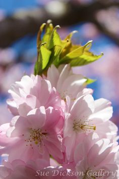 Cherry Blossom Tree Photography Fine Art by SueDicksonGallery, $15.00