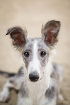 """handsomedogs: """" Sivien is my sister's Silken Windhound (a sighthound) who is just about the sweetest boy there is. He is always a good boy for photos. -@anyone-whos-anyone """""""