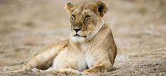"""Résultat de recherche d'images pour """"Lionne"""""""