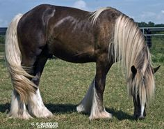 Palomino Gypsy Vanner Stallion | Jazz-Chocolate Palomino Gypsy Vanner Stallion » 2009-jul-29 ...