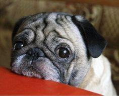 cute pug face pics eyes closeup #Pug #pugdog