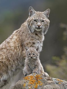 beautiful-wildlife:  Bobcat Mother and Kitten, North America by Tim Fitzharris