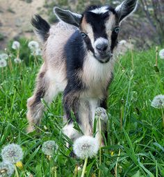 I would raise a small herd of about 10 Nigerian Dwarf goats.