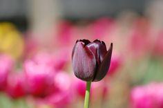 tulip pic by Burl Williams (2016-11-24)