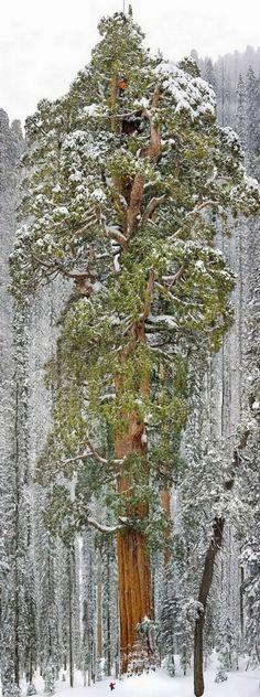 Der weltweit drittgrößte Mammutbaum, Kalifornien