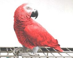 Red Factor Congo African Grey
