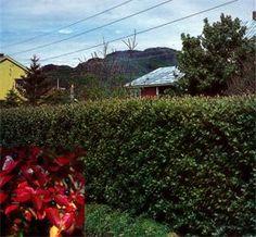 Blankmispel Cotoneaster lucidus Romsdal E - passa godt i Nord-Norge :)