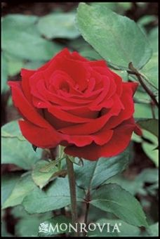 Monrovia's Mr. Lincoln Hybrid Tea Rose details and information. Learn more about Monrovia plants and best practices for best possible plant performance.