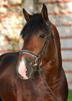 lysse des Prés  (Glameur x Kadette 12)  Normand Cob, Stallion