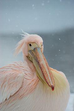 I love pink pelicans! #pink