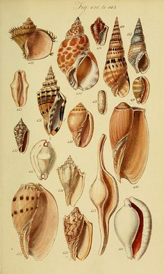 A conchological manual. First Edition. /.  London :G.B. Sowerby,1839