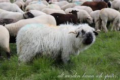 Schaefer, Alter, Lamb, Cow, Animals, Animales, Animaux, Cattle, Animal