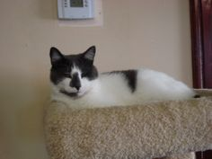 Meet Comet a Petfinder adoptable Domestic Short Hair - gray and white Cat | Freeport, NY | Petfinder.com is the world�s largest database of adoptable pets and pet care information. Updated daily, search Petfinder for one of over 300,000 adoptable pets and thousands of pet-care articles!