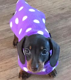 BABY NOODLE smiling to the camera (!) in her 'My First Coat'. Her stylist chose the purple polka dots pattern #dachshundpuppies #sausagedogs https://www.simplyspiffingdachshunds.co.uk/shop/harness-leads-sets/my-first-coat-for-dachshund-puppies-2/