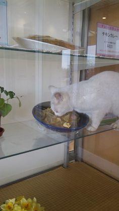 ushijima1129:    食堂のサンプルケースに猫が… - 写真共有サイト「フォト蔵」