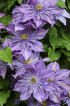 Purple Clematis © Cindy Dyer